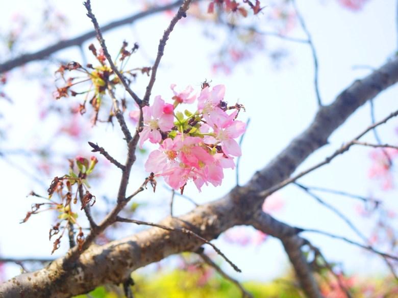 八重櫻 | 山櫻花 | 藍天 | 陽光燦爛 | 銅鑼 | 苗栗 | トンルオ | ミアオリー | Tongluo | Miaoli | 巡日旅行攝