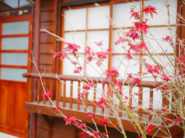 紅葉 | 楓紅 | 槭樹 | 春天的紅葉 | 第二棟日式宿舍建築 | 12號 | 14號 | 二戶建官舍 | 判任丙種官舍二戶建 |ドンシー | タイジョン | RoundtripJp