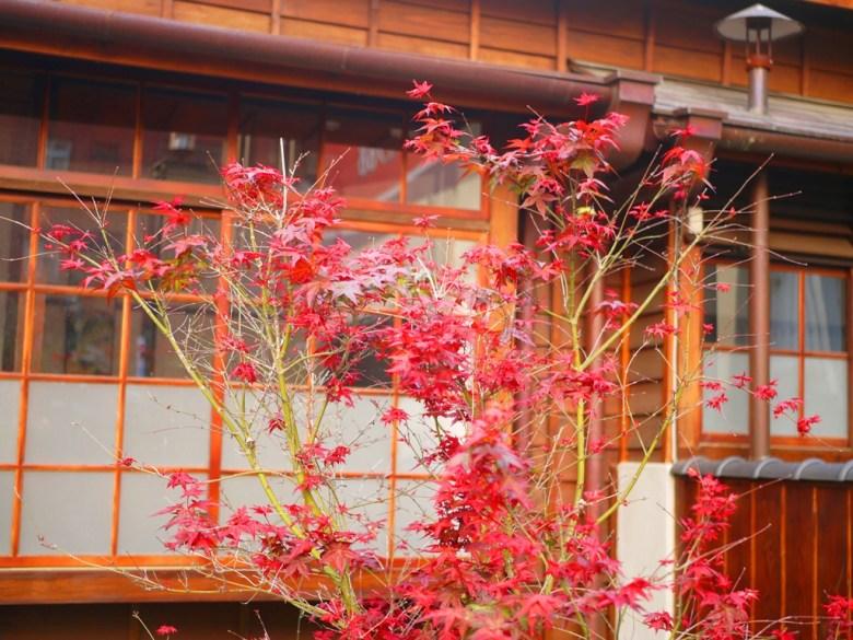 楓紅 | 第一棟日式宿舍建築 | 16號 | 一戶建校長官舍 | 判任甲種官舍 | 紅葉 | 楓紅 | 槭樹 | 原東勢公學校宿舍 | RoundtripJp