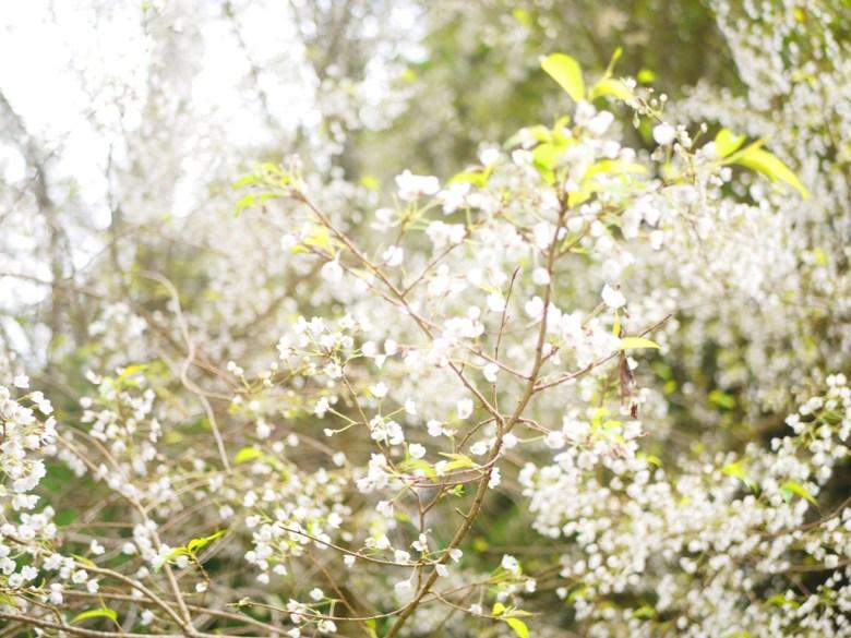 小巧迷你的白色櫻花 | 霧社櫻 | 臺灣固有種 | 第一個停車場後往上沿途的櫻花 | 大雪山國家森林遊樂區 | 和平 | 台中 | RoundtripJp