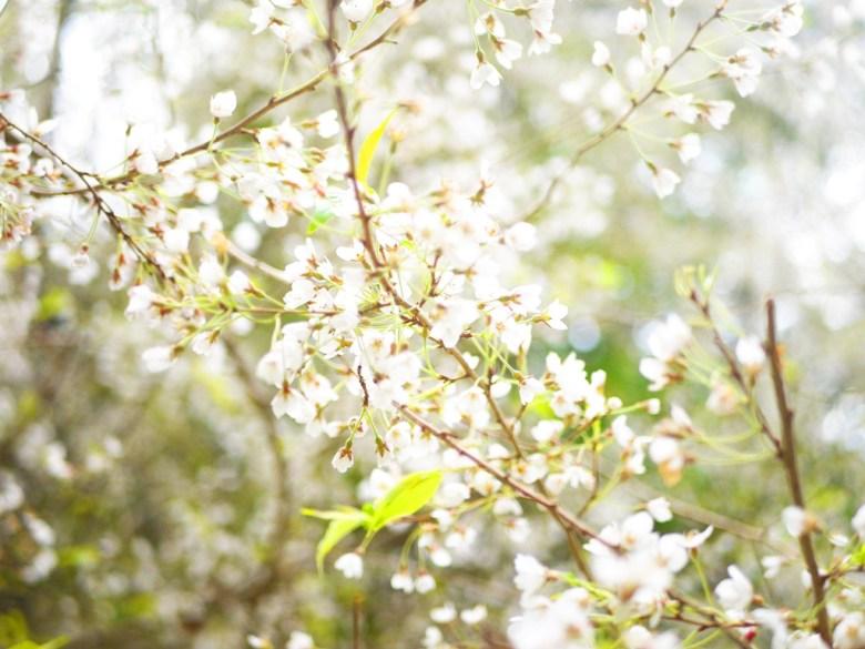 霧社山櫻花 | 潔白夢幻 | 臺灣固有種 | 第一個停車場後往上沿途的櫻花 | 大雪山國家森林遊樂區 | 和平 | 台中 | 巡日旅行攝
