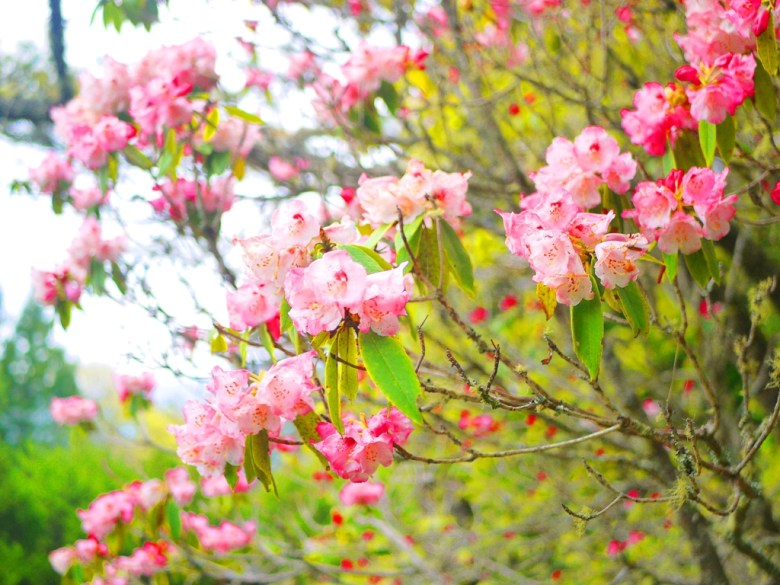 玉山杜鵑 | 粉紅粉嫩 | 大雪山國家森林遊樂區 | 和平 | 台中 | 巡日旅行攝