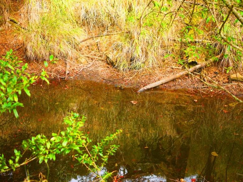 往天池方向沿途的小水池 | 野鳥 | 自然生態 | 大雪山國家森林遊樂區 | 和平 | 台中 | 巡日旅行攝