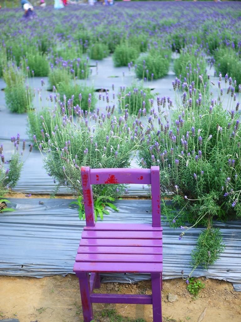有著薰衣草味道的紫色椅子 | 整齊的薰衣草花田 | 臺灣旅人 | Touwu | Miaoli | RoundtripJp