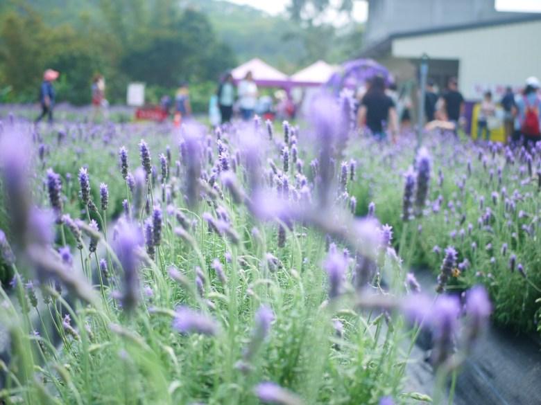 滿開薰衣草 | 齒葉薰衣草 | Lavender | Lavandula | 臺灣旅人 | 網美景點 | 拍好拍滿 | 頭屋 | 苗栗 | 巡日旅行攝