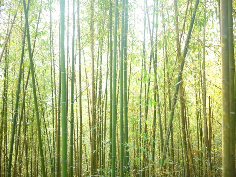 竹林間的靜謐 | 大自然 | 感受竹林間的清新 | 陽光灑落 | 烏嘎彥竹林 | 泰安 | 苗栗 | 巡日旅行攝