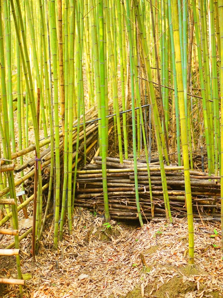 竹林一隅 | 綠色的竹子 | 烏嘎彥竹林 | 泰安 | 苗栗 | 巡日旅行攝