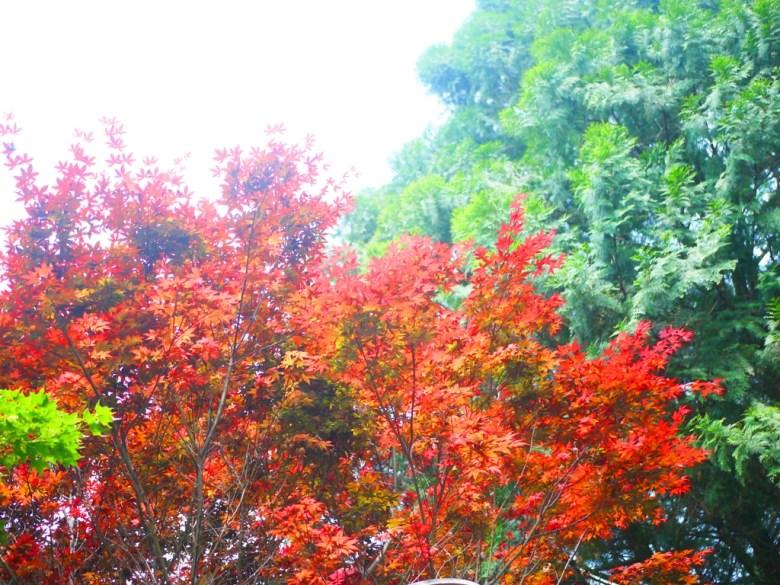 浪漫的紅葉 | 盛開 | 春天的紅葉 | 奧萬大國家森林遊樂區 | レンアイ | ナントウ | RoundtripJp