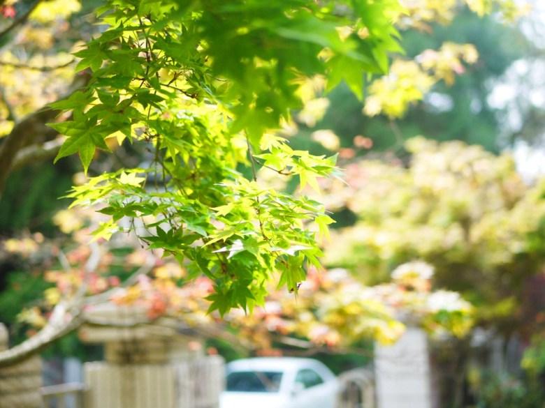 青楓 | 紅楓 | 黃楓 | Maple | 日本味 | 奧萬大國家森林遊樂區 | レンアイ | ナントウ | 巡日旅行攝