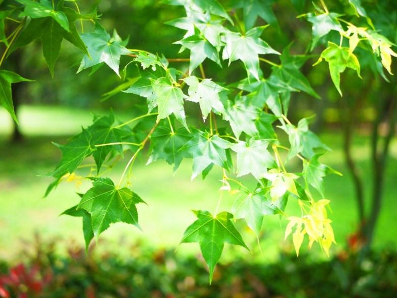 綠色的楓葉 | Aowanda National Forest Recreation Area | Qinai | Renai | Nantou | 巡日旅行攝