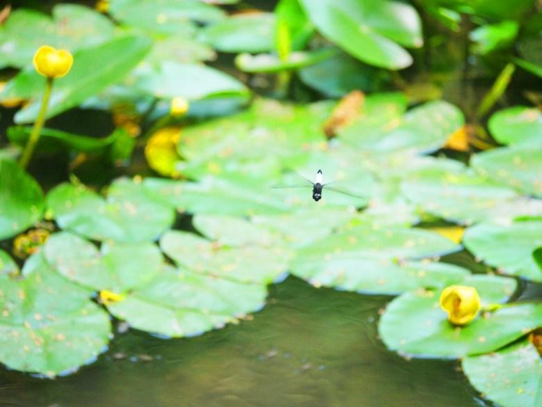 生物多樣性 | 自然生態 | 生態池 | Ecological Pond | 奧萬大國家森林遊樂區 | レンアイ | ナントウ | 巡日旅行攝