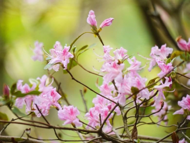 美麗的小粉紅花 | 好漢坡步道 | Strongman Slope | 奧萬大國家森林遊樂區 | レンアイ | ナントウ | 巡日旅行攝