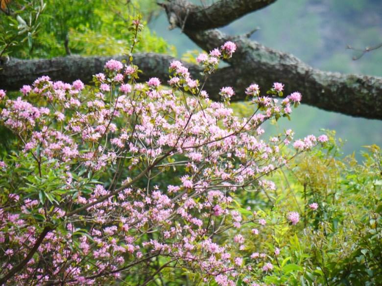 滿開的粉紅花朵 | 奧萬大國家森林遊樂區 | レンアイ | ナントウ | RoundtripJp