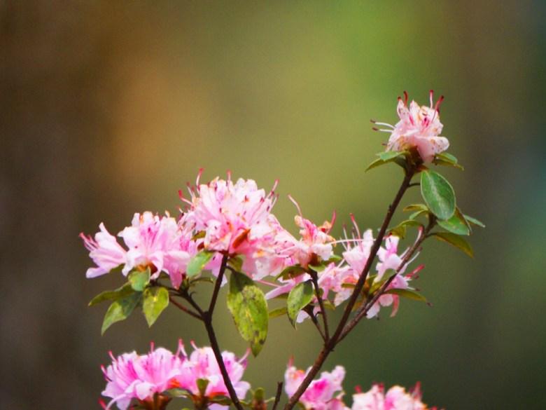 粉嫩動人 | 美麗粉紅花朵 | 奧萬大國家森林遊樂區 | レンアイ | ナントウ | RoundtripJp