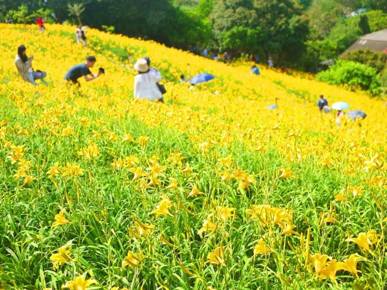 滿滿黃金花海   被黃金花海簇擁的台灣旅人   夢幻絕美   Huatan   Changhua   RoundtripJp   巡日旅行攝