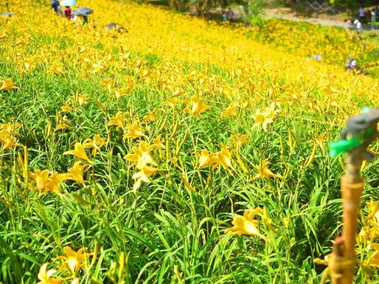 滿滿黃金金針花海   被黃金花海簇擁的台灣旅人   夢幻唯美   Huatan   Changhua   RoundtripJp   RoundtripJp