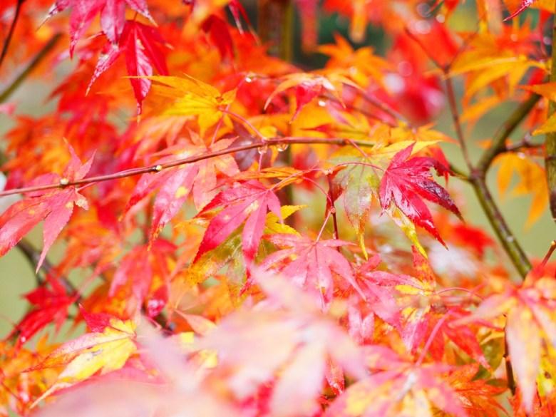 秋之饗宴 | 楓葉 | 紅葉 | 楓景 | 日本 | Japan | 巡日旅行攝 | RoundtripJp