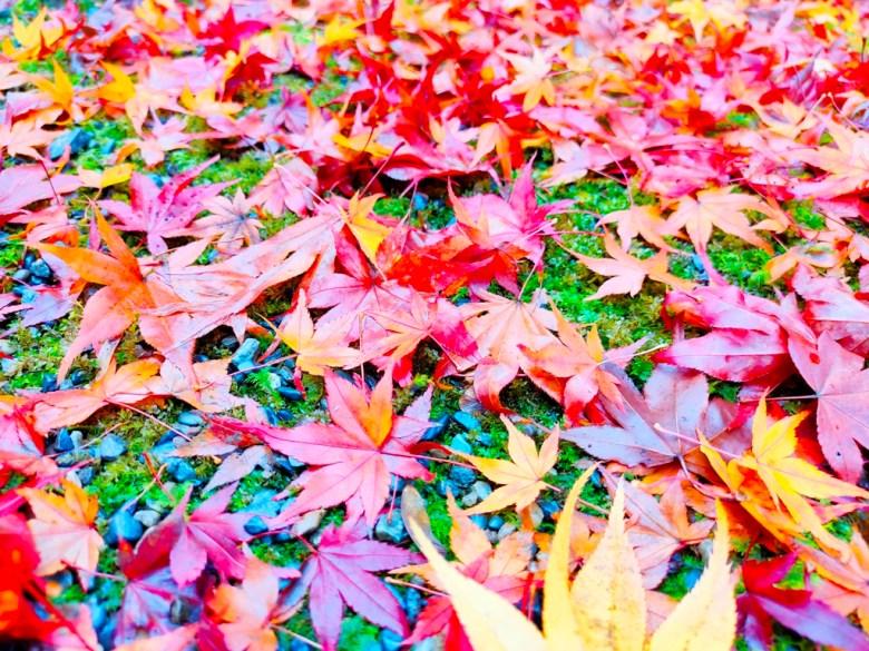 知曉秋天的一葉楓紅 | 如詩如畫 | 繽紛的楓葉 | 紅橙黃橘楓葉 | 日本 | Japan | 巡日旅行攝 | RoundtripJp