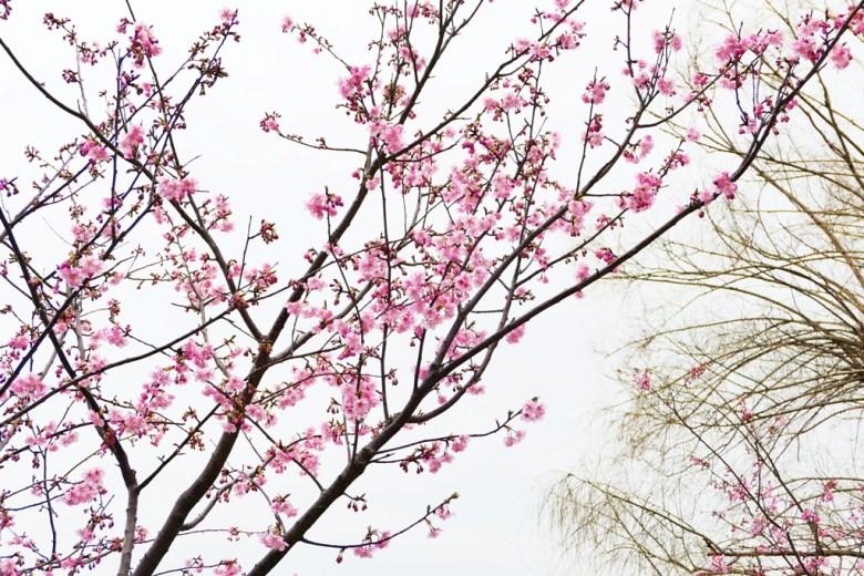 櫻花   日本春季旅遊   迷人的粉紅   日本   Japan   巡日旅行攝   RoundtripJp