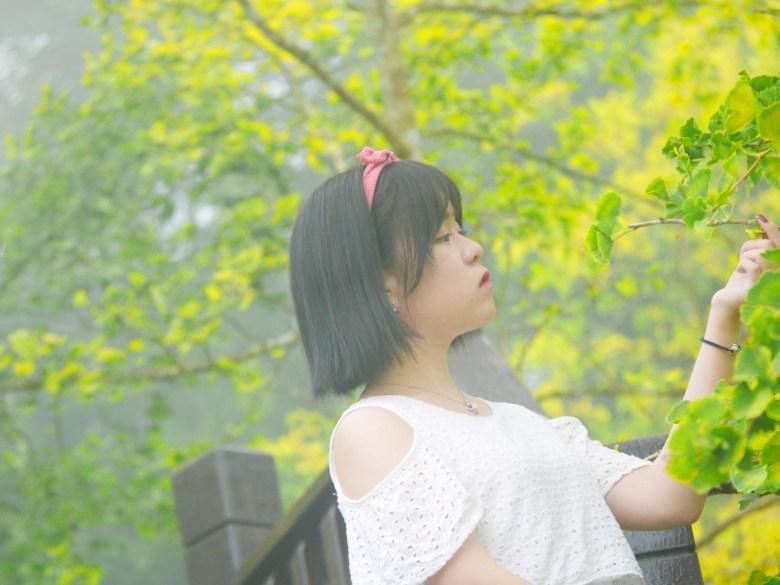 秋天的饗宴   大自然的美景   金黃銀杏   網美   ルーグー   Lugu   Nantou   Taiwan   和風臺灣   巡日旅行攝   RoundtripJp
