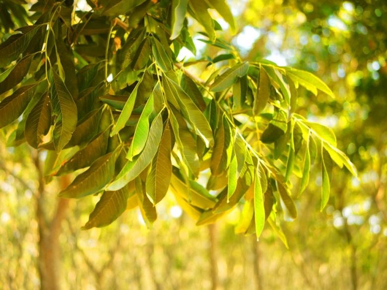無患子樹葉   親子教育   認識無患子樹   ホウリー   タイジョン   Wafu Taiwan   巡日旅行攝   RoundtripJp