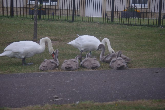 mother with her swan cubs
