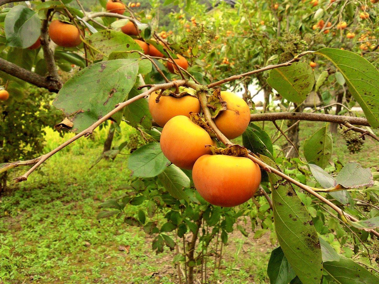 富有柿の値段