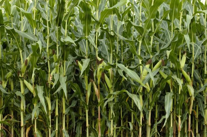 corn-1662551