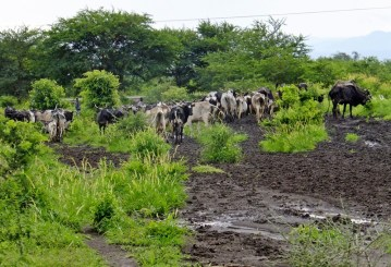 herd of cows ruining the rest of the road