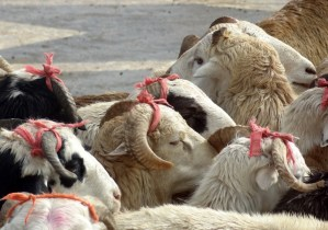 pretty sheeps with bows