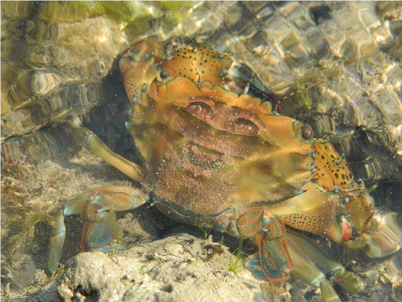 Crab at Pirotan islands