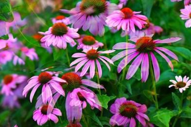 echinacea beneficii | Rovitality