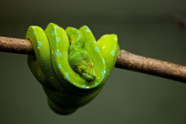 A python on a branch