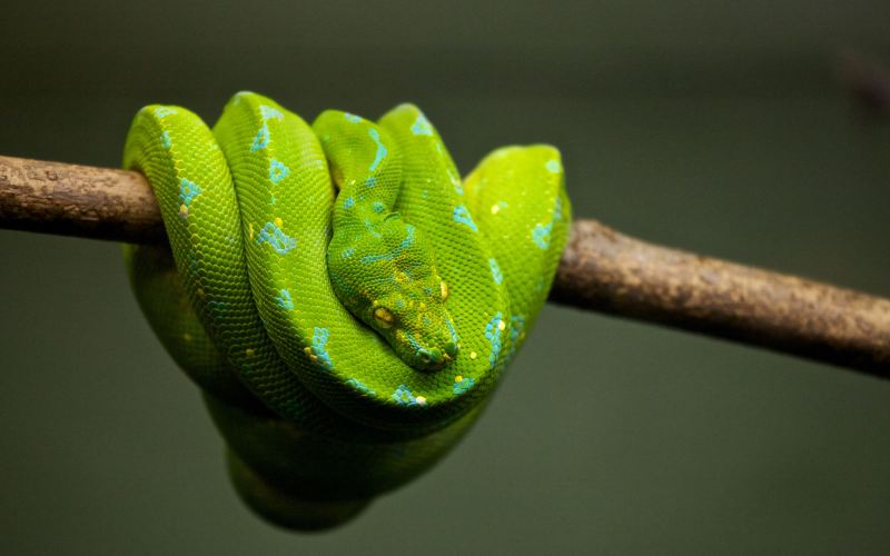 A python on a branch