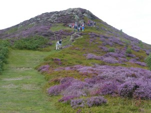 Ling heather and bell heather in flower