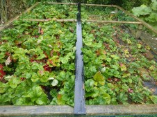 Strawberry trial beds at a member's garden