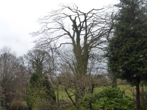 Large sycamore after reduction