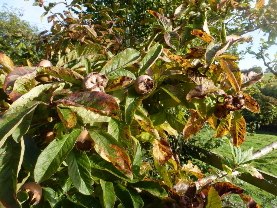 Medlar, a very old-fashioned fruit. Can be used for making medlar jelly.