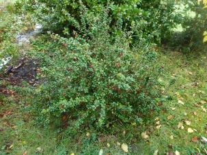 Chilean guava. Delicious, fragrant berries. Said to be Queen Victoria's favourite fruit. I bought this plant at Conwy Seed Fair.