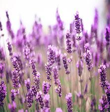 lavender-scent