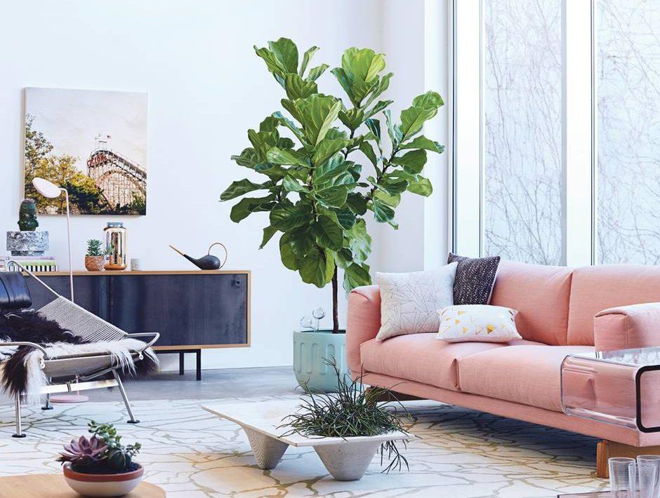 Decoración con una planta maravillosa Ficus Lyrata