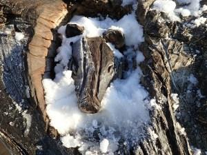 Blaireau dans la neige, Chorleywood Common (Hertfordshire, Royaume-Uni)