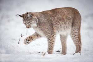 Lynx jouant dans la neige