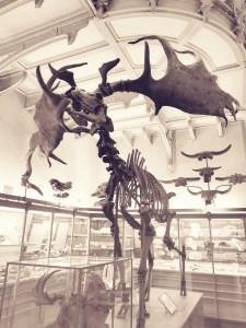 Squelette de Mégalocéros au Musée de Paléontologie à Paris