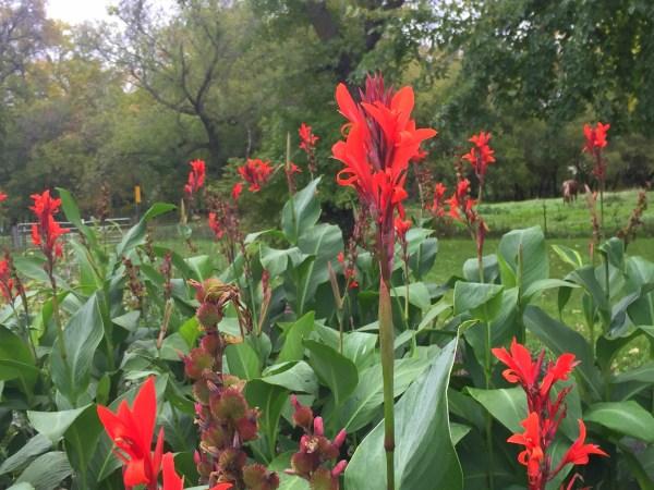 carmelredflowersfall2016