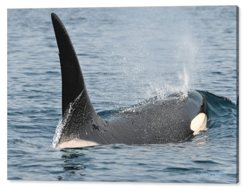 Orca Photography by Roxy Hurtubise