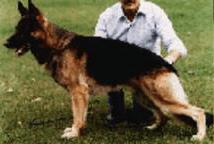 german line german shepherd
