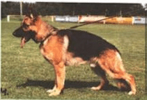 shutzhund german shepherd