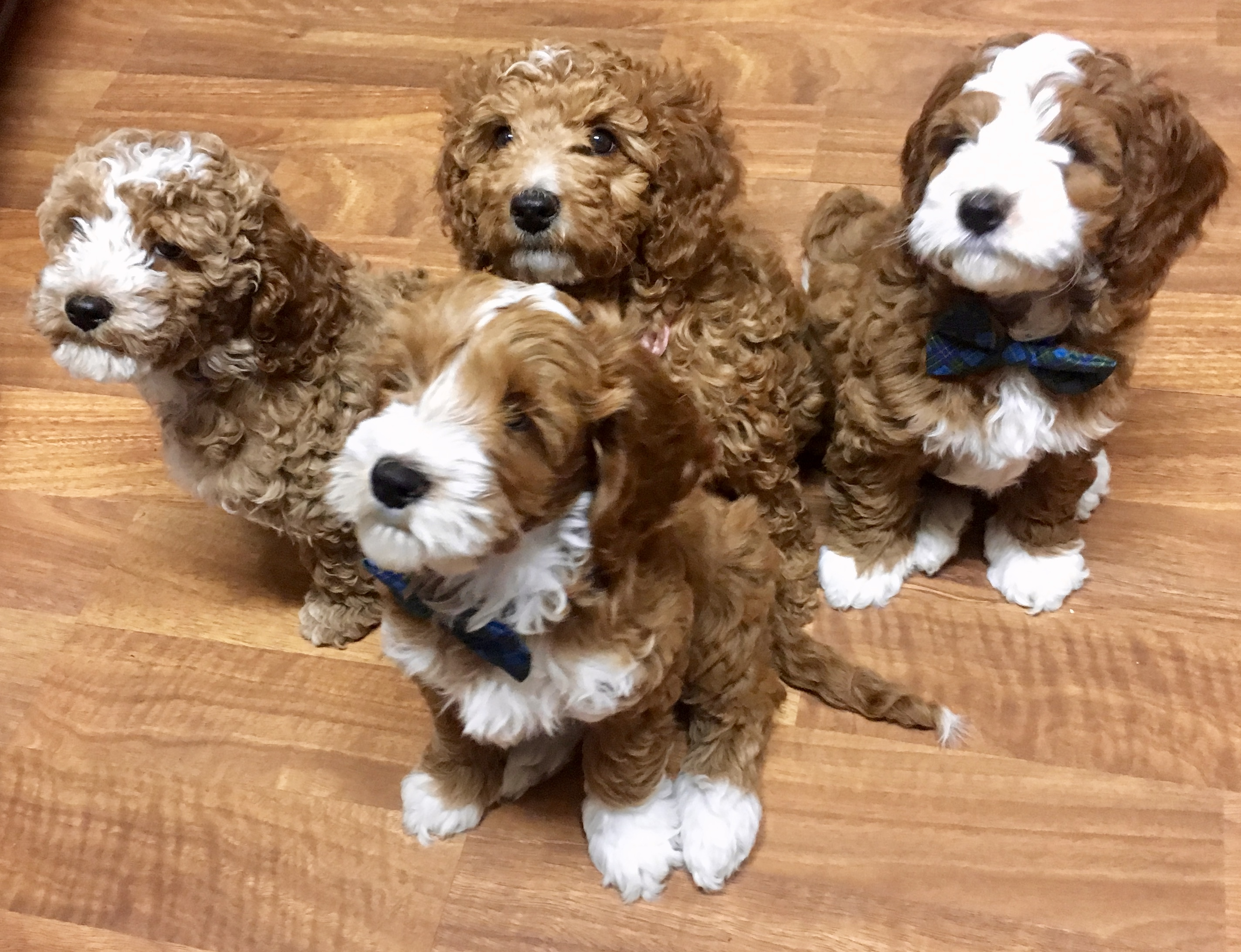 Royal Australian Labradoodles We Are A Small Home Breeder Of Multi