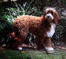 Royal KING GEORGE-now owned by Swinging Gate Labradoodles (King George photo Courtesy of Jenny Blume-Swinging Gate Australian Labradooldes)